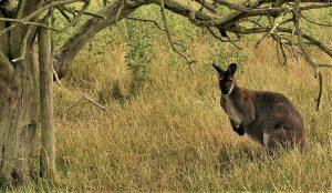 Canguro en Australia