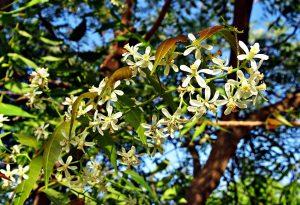 Flor de neem