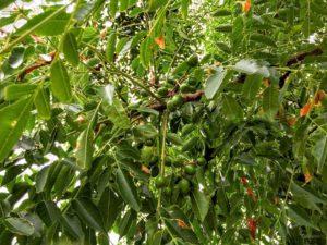 Cinamomo (Melia azedarach)