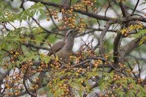 Pájaro comiendo frutos del cinamomo