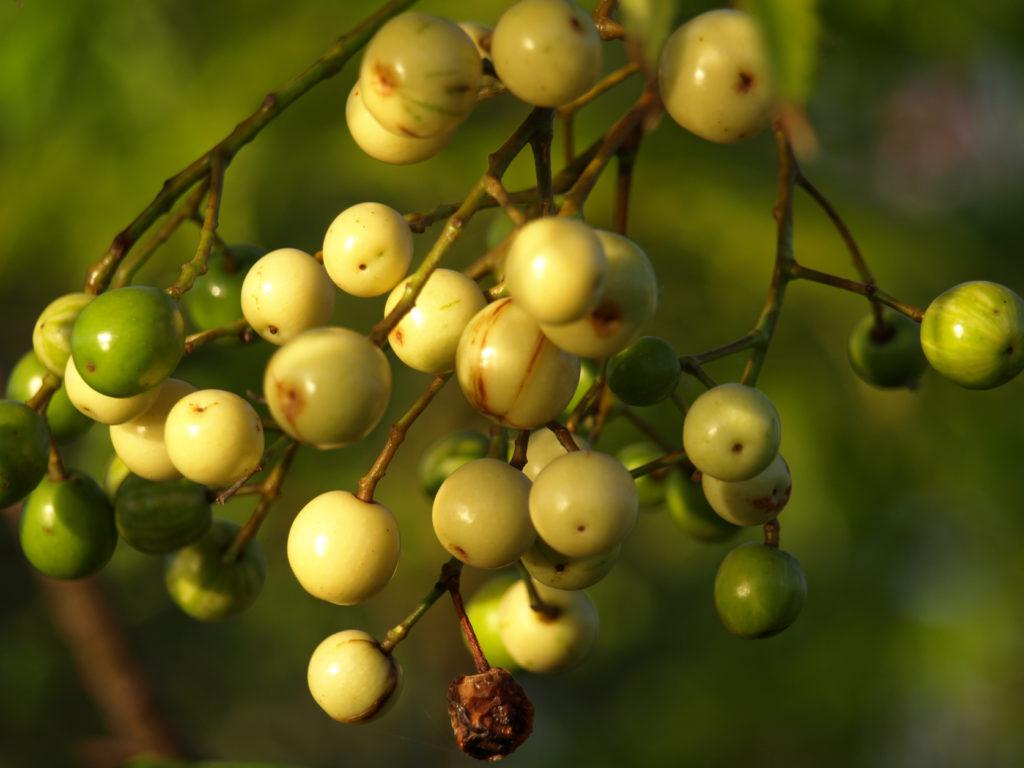 Frutos del Cinamomo