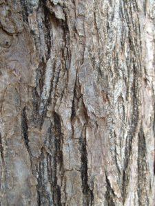 Corteza del árbol cinamomo