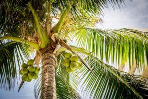 Palmera con cocos