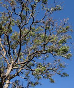 Árbol de neem