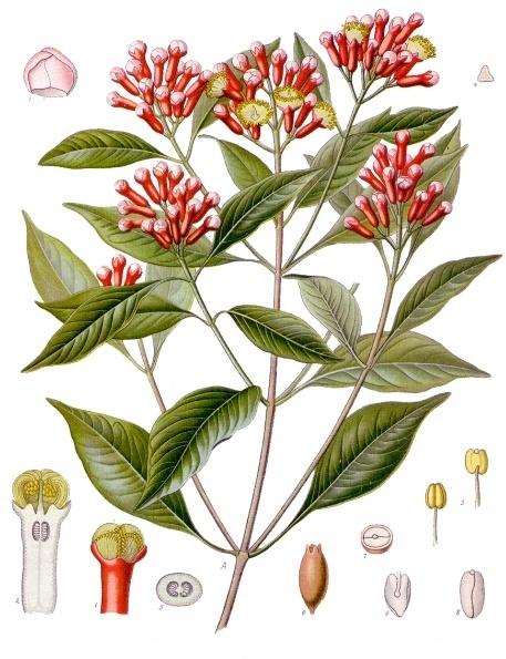 Syzygium aromaticum (Plantas medicinales de Köhler)