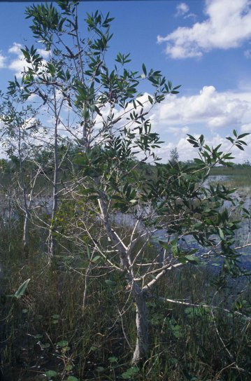 Melaleuca cerca del pantano
