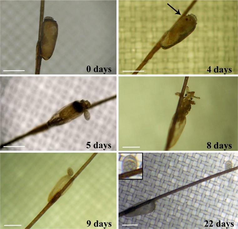 Proceso de maduración de larva de piojo