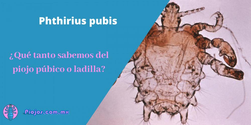 Phthirius pubis