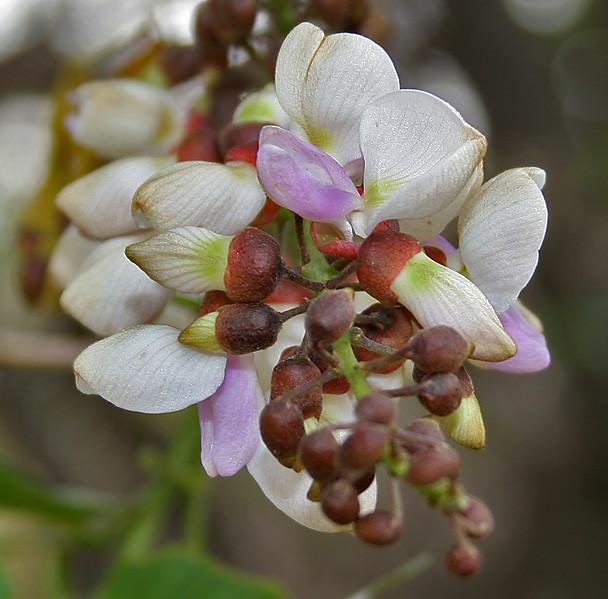 Flor de Karanja
